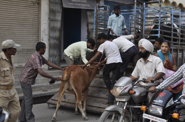 City workers drag a cow into a vehicle for its removal from the city center.