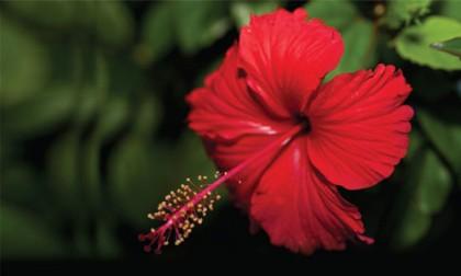 Hibiscus Flower Uday India