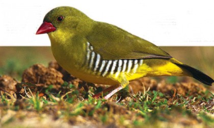 The Green Munia A tale of woes
