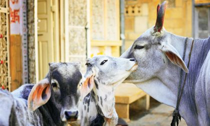 Why Cow is Sacred  The Untold Story